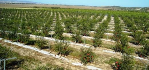 Coltivazioni di melograno_impianti siciliani_Oranfrizer
