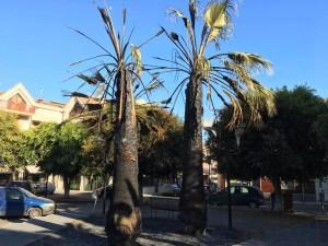 palme bruciate piazza Mattarella