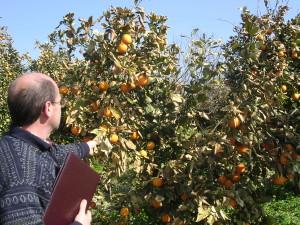 Palagonia - Danni agli aranceti